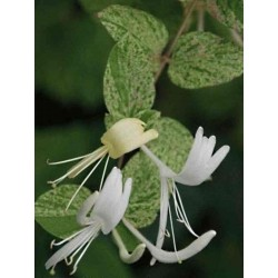 Lonicera japonica 'Mint Crisp'