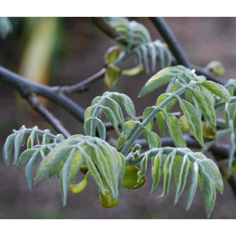 Maackia amurensis - silvery blue spring leaves