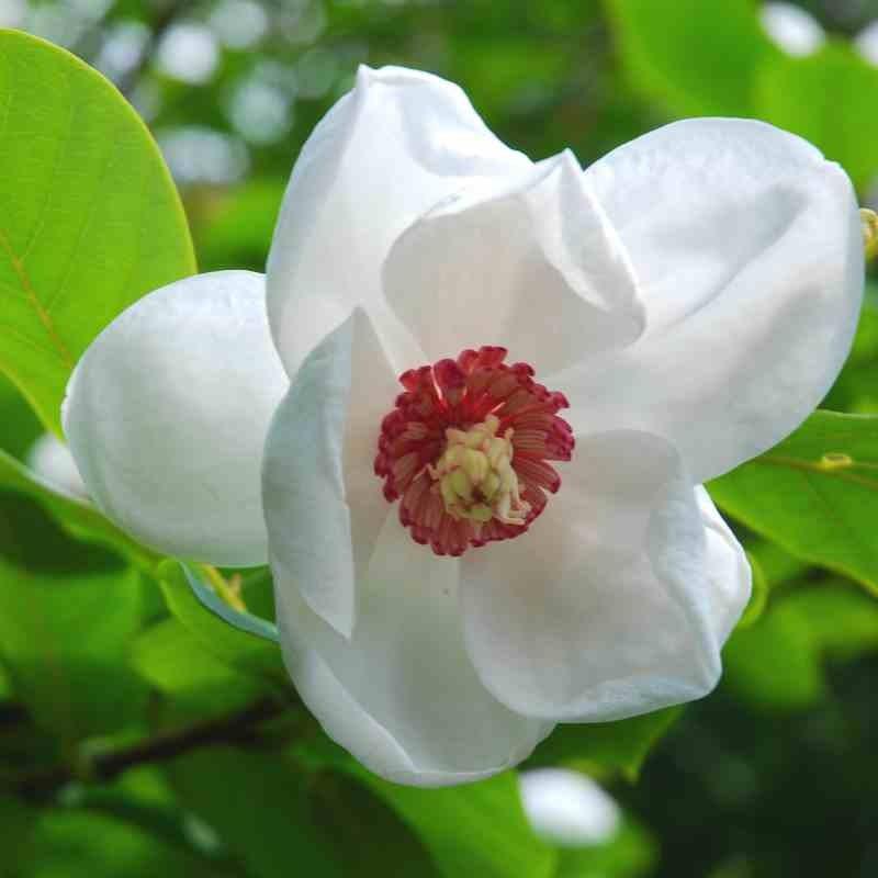 Magnolia sieboldii - summer flowers