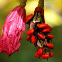 Magnolia sieboldii - fruit in autumn