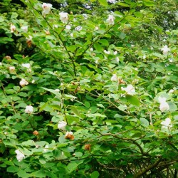 Magnolia sieboldii - established flowering plant