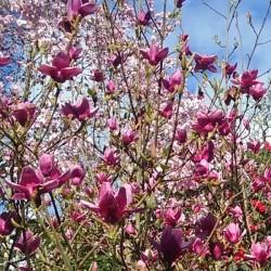 Magnolia x 'Ian's Red'