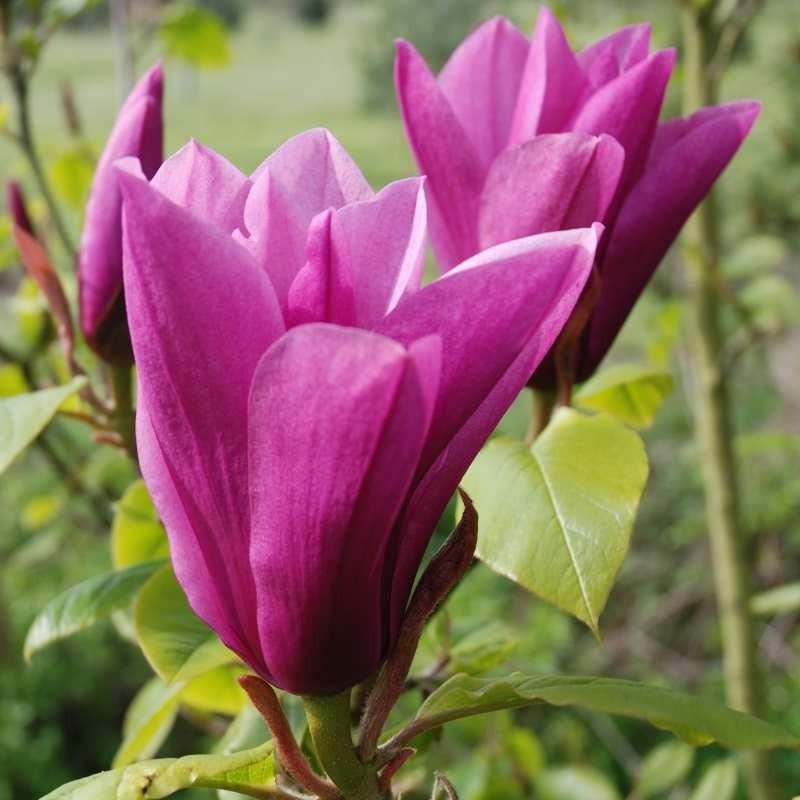 Magnolia 'Margaret Helen'