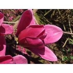 Magnolia 'Shirazz'