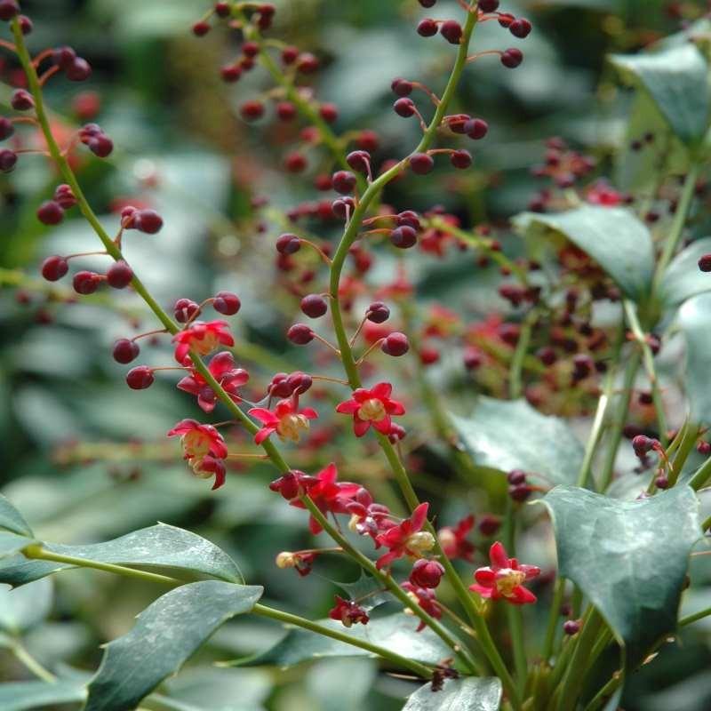 Mahonia gracilipes