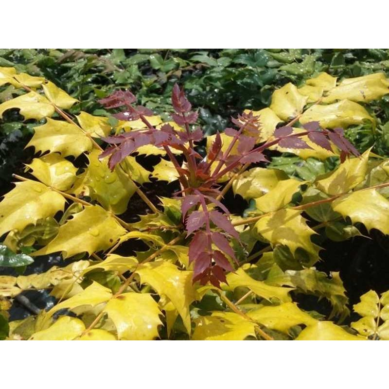 Mahonia japonica 'Gold Dust'