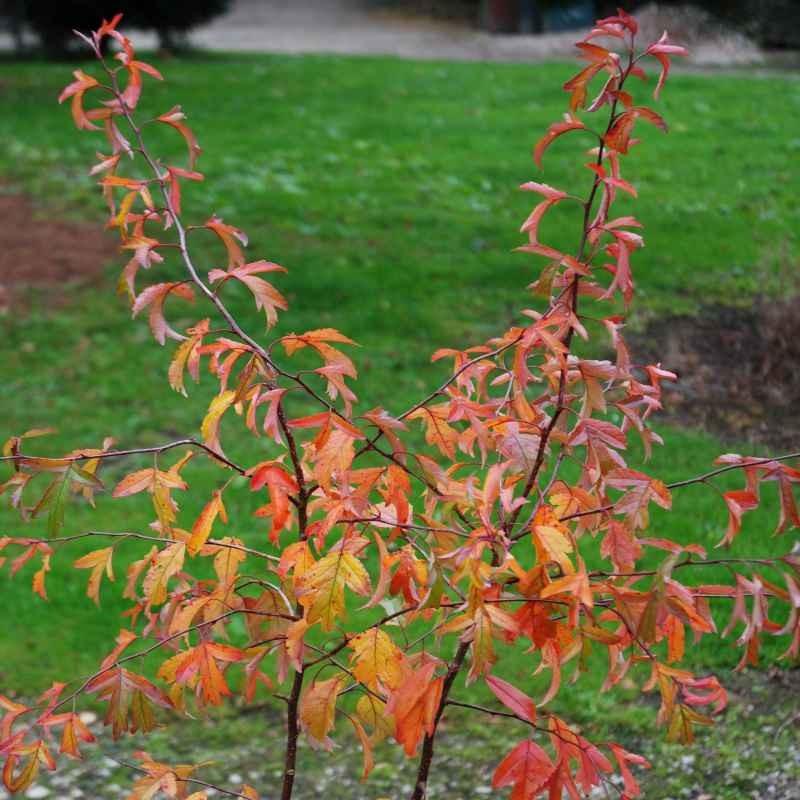Malus sieboldii - autumn colour
