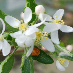 Malus transitoria - spring flowers