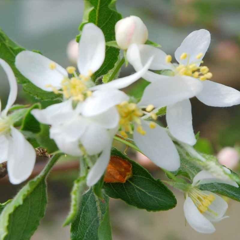 Malus transitoria - spring flowers
