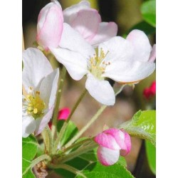 Malus x 'Gorgeous'
