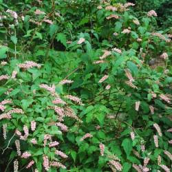 Neillia thibetica - summer flowers