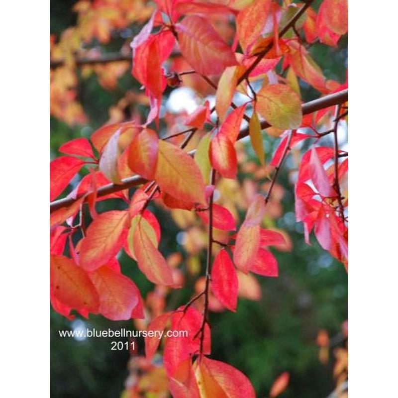 Nyssa sylvatica - autumn colour