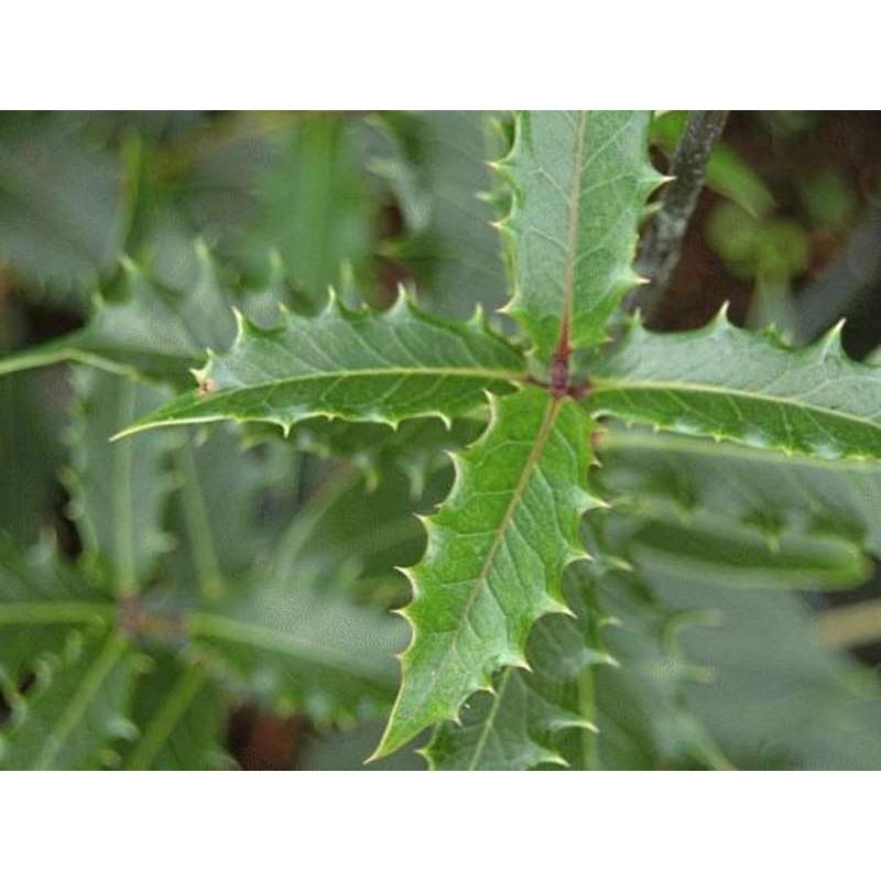 Osmanthus heterophyllus 'Purpureus' - summer leaves