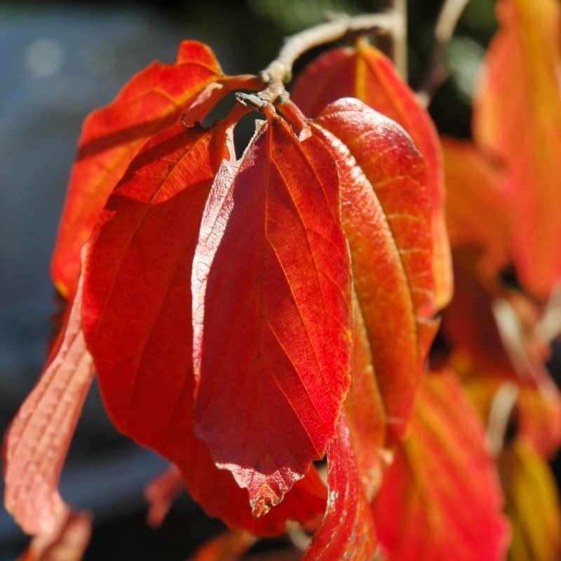 Parrotia persica 'Jodrell Bank' - autumn colour