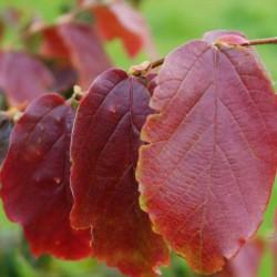Parrotia persica 'Burgundy'