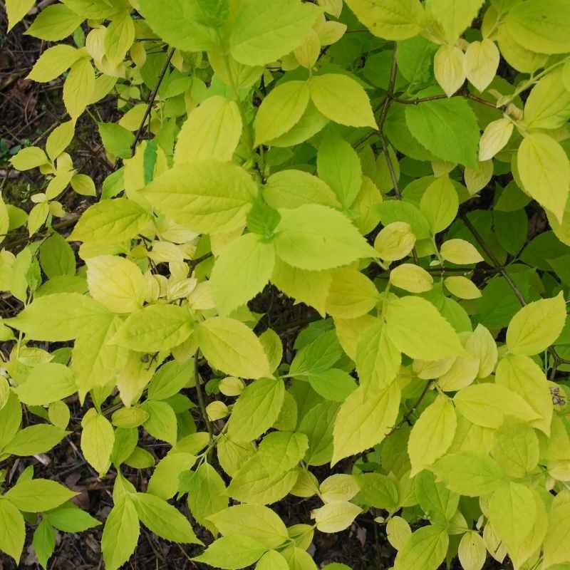 Philadelphus coronarius 'Aureus' - golden summer leaves