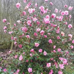 Camellia x 'Leonard Messel'