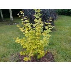 Physocarpus opulifolius 'Aurea'