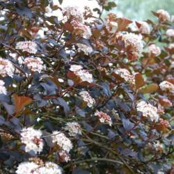 Physocarpus opulifolius 'Diablo'