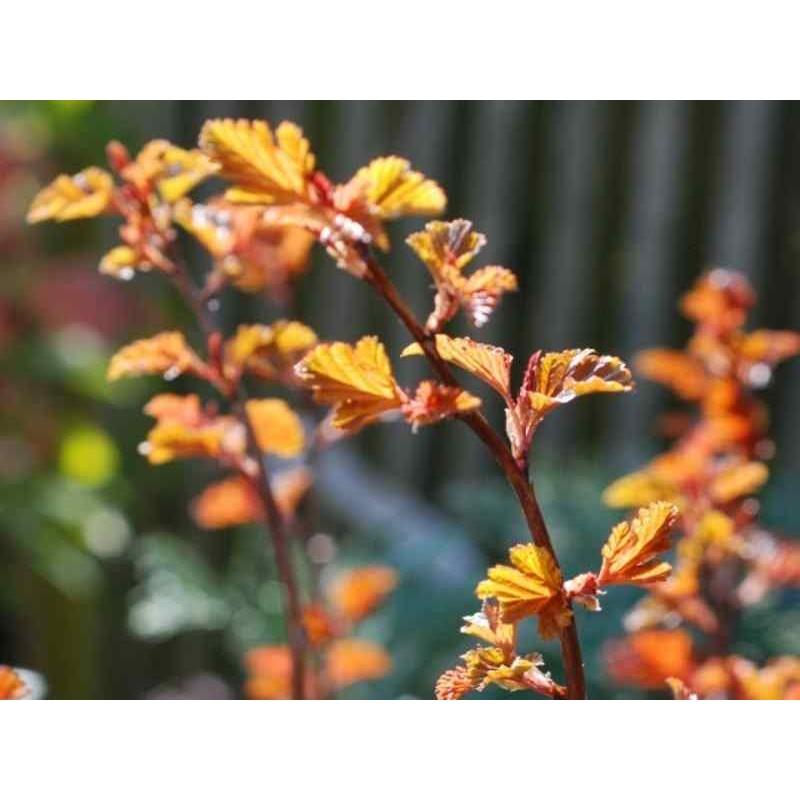 Physocarpus opulifolius 'Diable D'Or'
