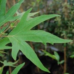 Platanus orientalis 'Digitata'