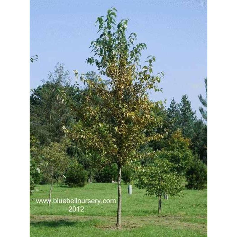 Populus balsamifera 'Vita Sackville West'