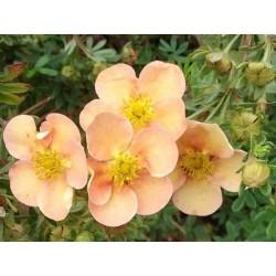 Potentilla fruticosa 'Daydawn'