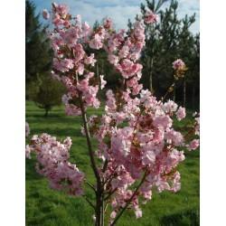 Prunus 'Beni-yutaka'