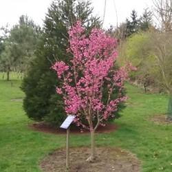 Prunus 'Collingwood Ingram'