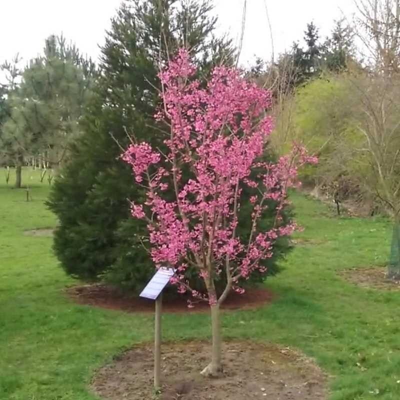 Prunus 'Collingwood Ingram'