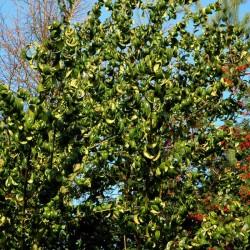 Prunus laurocerasus 'Camelliifolia'