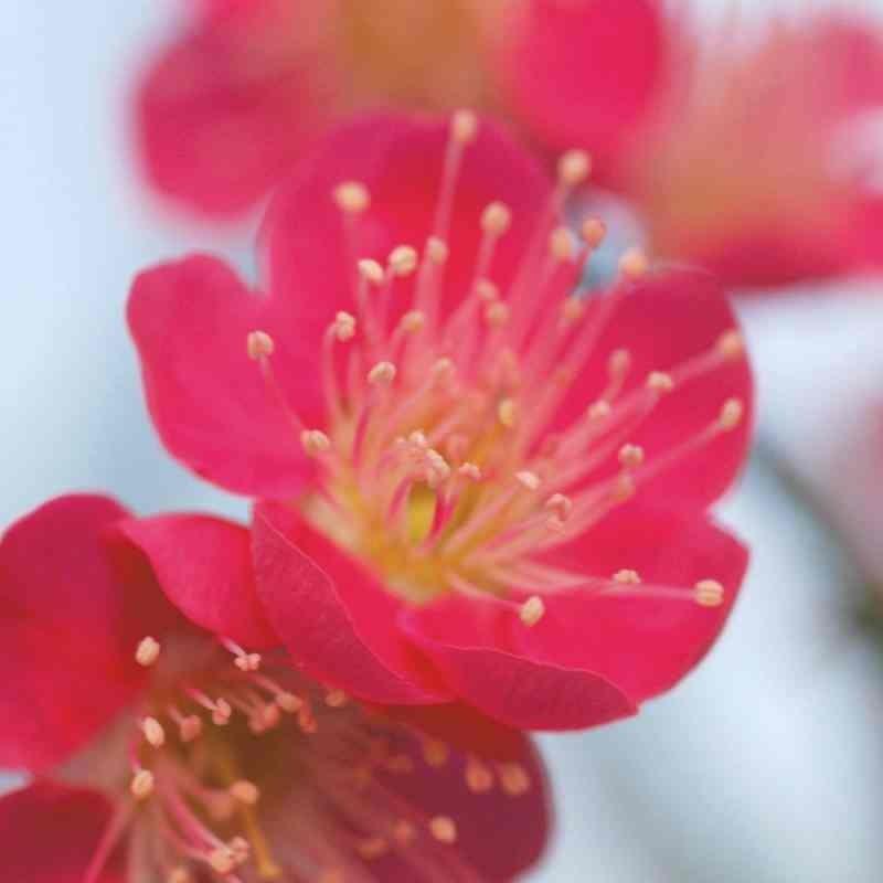 Prunus mume 'Beni-Chidori' - spring flower close up