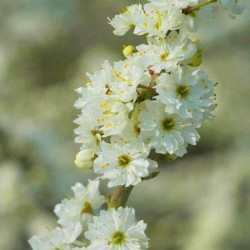 Prunus spinosa 'Plena'