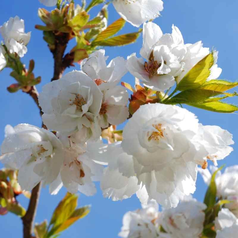 Prunus x 'Shirotae' - spring flowers