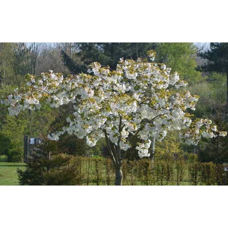 Prunus x 'Shirotae'