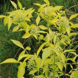 Ptelea trifoliata 'Aurea'