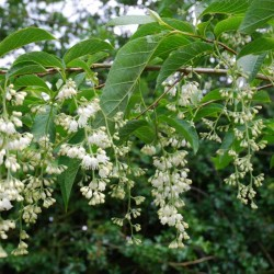 Pterostyrax hispida - summer flowers