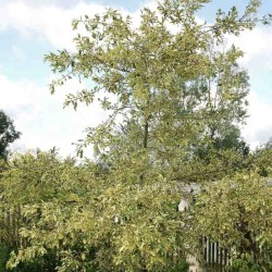 Quercus cerris 'Argenteovariegata'