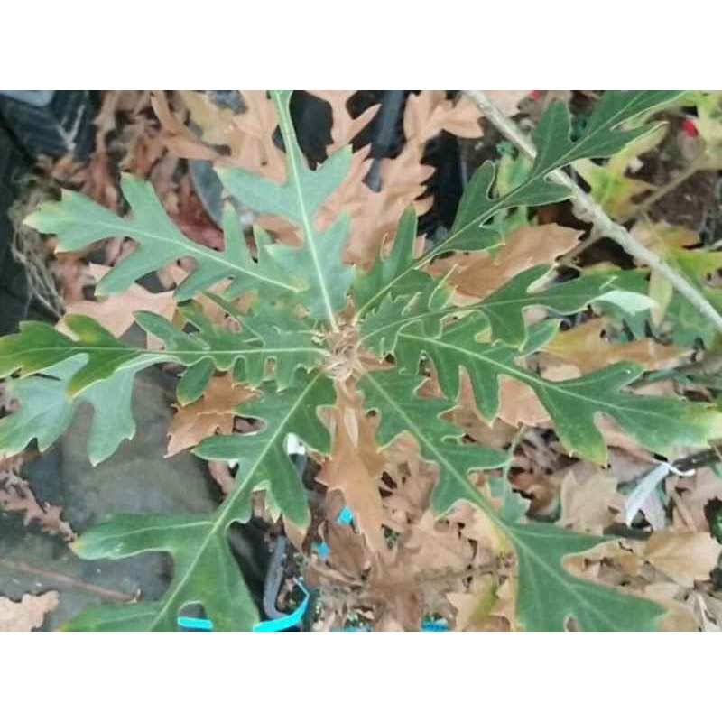 Quercus cerris 'Bolte's Obelisk'
