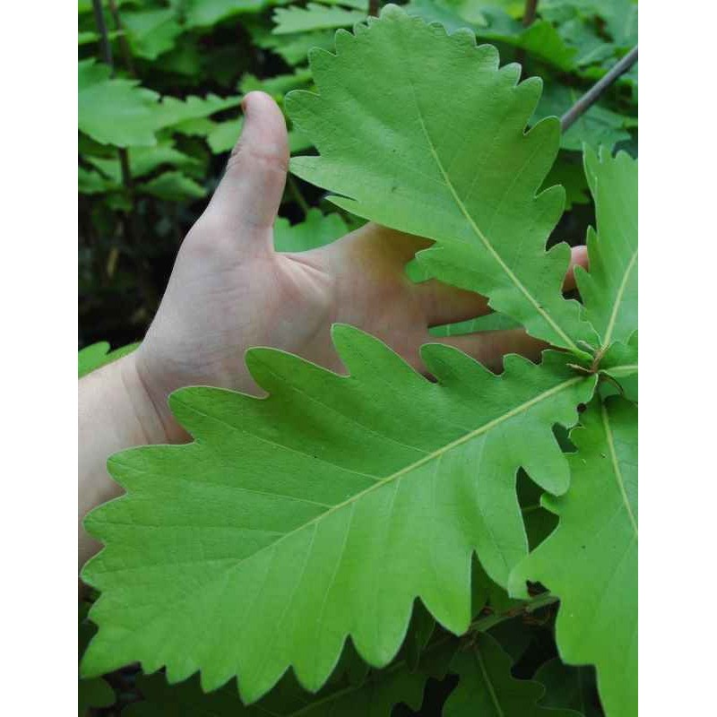 Quercus dentata 'Carl Ferris Miller' - leaf close up