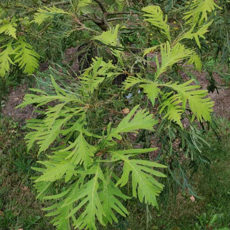 Quercus dentata 'Pinnatifida'