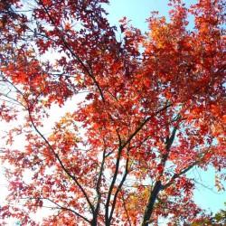 Quercus ellipsoidalis 'Hemelrijk'