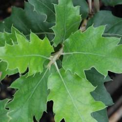 Quercus ithaburensis 'Hemelrijk Silver'