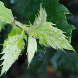 Quercus ithaburensis 'Hemelrijk Silver' - young leaves