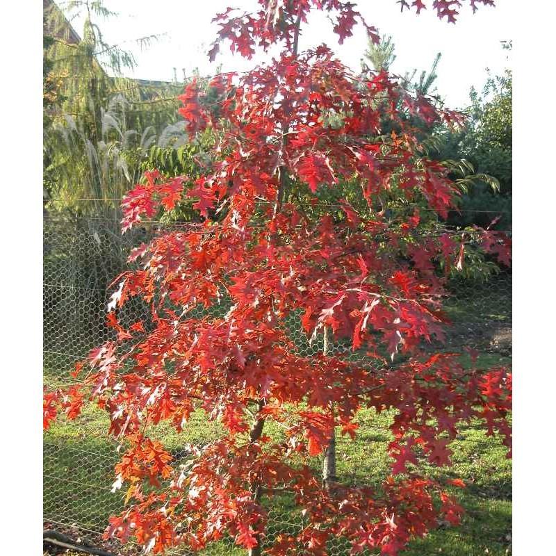 Quercus palustris 'Flaming Suzy' - autumn colour