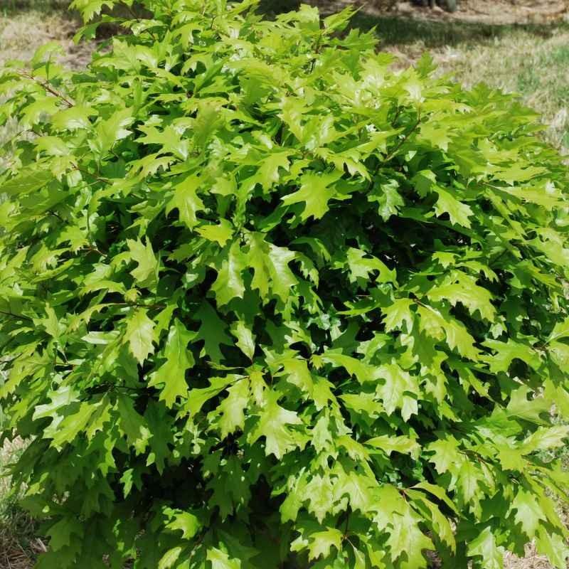 Quercus palustris 'Green dwarf'