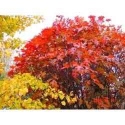 Quercus palustris 'Isabel'