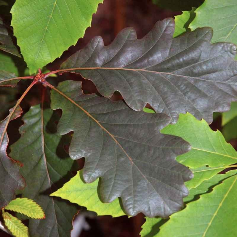 Quercus petraea 'Purpurea'