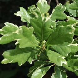 Quercus robur 'Argenteomarginata'
