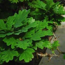 Quercus robur 'Compacta'